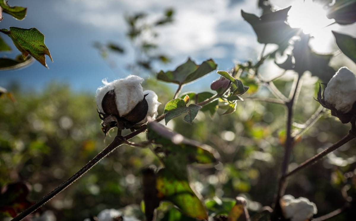 Cotton made in Africa kooperiert mit African Cotton Foundation